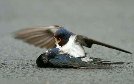 عکس مرگ پرندگان عاشق